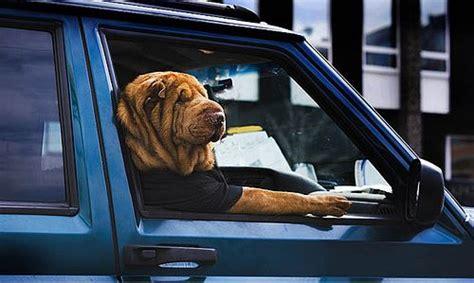 dogs love riding  cars   izismilecom