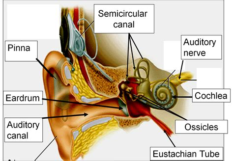 the ear diagram and functions 1 2 sense of hearing msciencebuzz