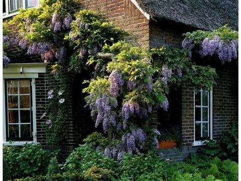 Lidl Garten Pflanzen by Chinesischer Blauregen Veredelt 1 Pflanze Lidl