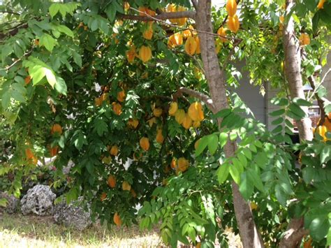 florida fruit trees planting a starfruit tree in the keyisle realty