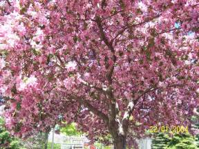 cherry blossom tree cherry blossom tree by maryzhang67 on deviantart