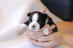 unabashedly boston s 8 facts about boston terriers dog
