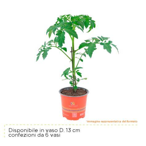 pomodoro ciliegino in vaso pomodoro ciliegino ricante piante passione