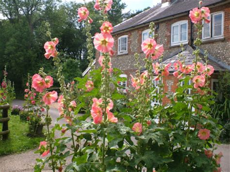 Country Cottage Plants by Between The Flowers Hollyhock Flowers Alcea Rosea