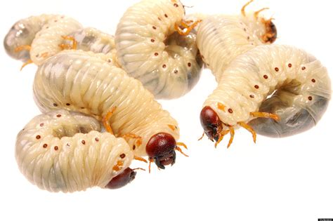 maggots in maggots heal wounds by suppressing immune system study shows