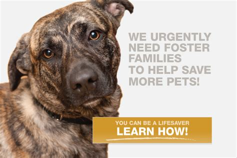 how to foster puppies pets available for fostering paws chicago