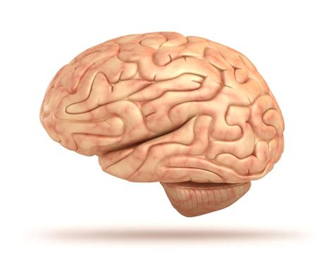 brain images human brain facts functions anatomy