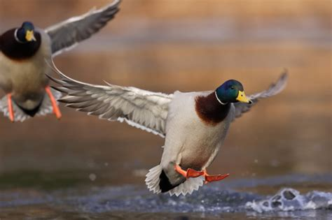 Affordable Temporary Wallpaper by Wildfowl S Guide To Public Land Duck Hunting Etiquette