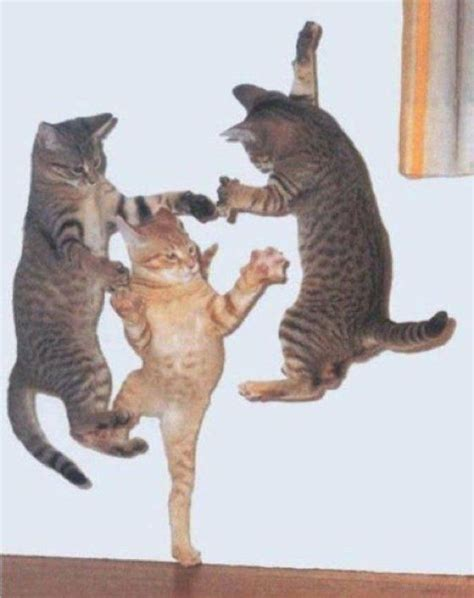 461710 the cat purr dance 233 best images about cats kittens kitty babies on