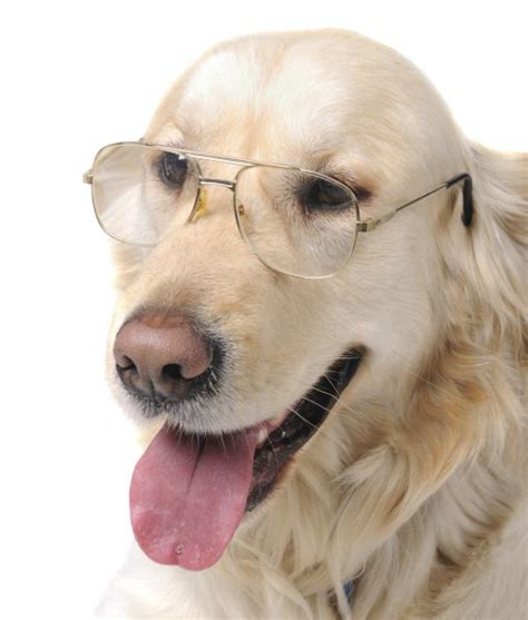 are golden retrievers smart 10 cool facts about golden retrievers golden retriever is considered 4th smartest