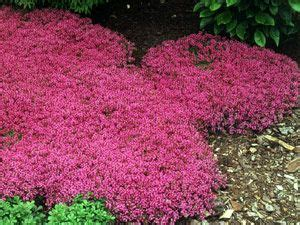 red creeping thyme fragrant fast growing 1 quot tall ground cover perfect with sedums knockout