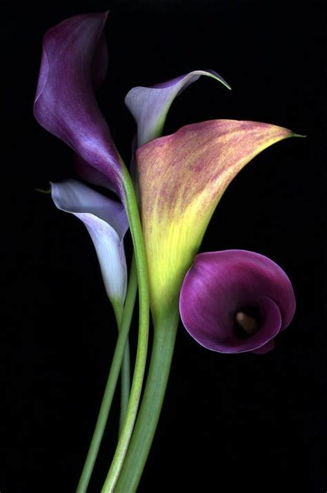 25 best ideas about purple calla lilies on pinterest purple lily calla lilies and deep
