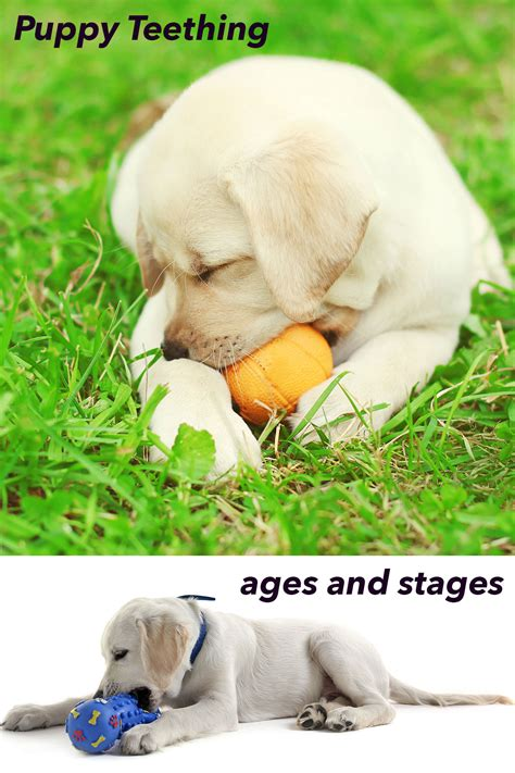 what age do puppy teeth fall out teeth and puppy teething ages and stages