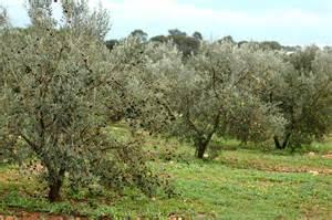olive tree olive trees unrelatedtolife
