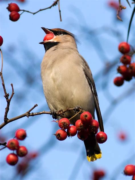 winter berries for fruit eating birds berry berry