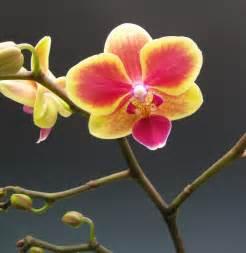 Orchids Miniature Moth Orchids Orchidaceous Orchid Blog