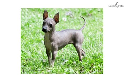 american hairless terrier puppies for sale puppies for sale from bellridge kennels member since february 2011