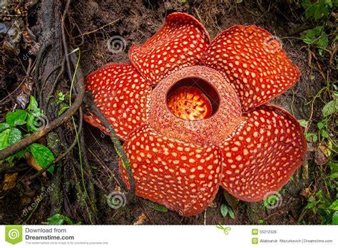 Whith Raflesia rafflesia the flower in the world sumatra stock