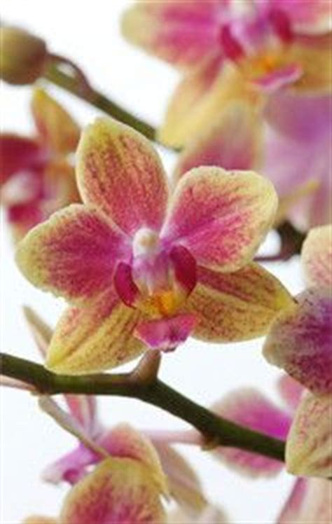 care of orchids after flowering how to care for your orchid phalaenopsis moth orchid after flowering cut the stalk above the