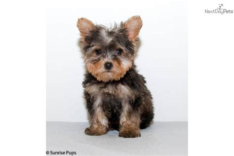teacup yorkie poo sale yorkiepoo yorkie poo puppy for sale near columbus ohio f71d9cd5 c8b1