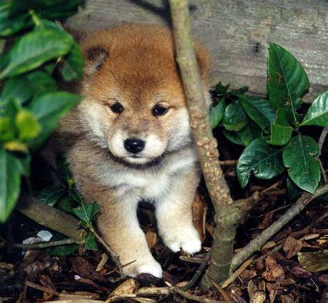 shiba inu puppy rescue national shiba club of america