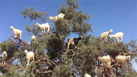 in tree tree climbing goats fill argan tree upi