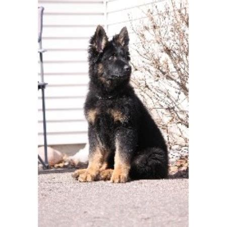 german shepherd puppies minnesota minnesota k9 solutions german shepherd breeder in minneapolis minnesota listing
