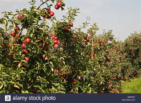 apple deutschland apple apples altes land northern germany europe harvest