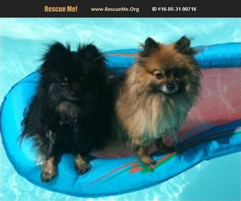 southern california pomeranian rescue image may contain text socalpomrescue scpr pomeranian