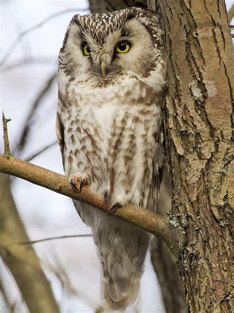 paerluggla aegolius funereus boreal owl svartfotonse christian ljunggren