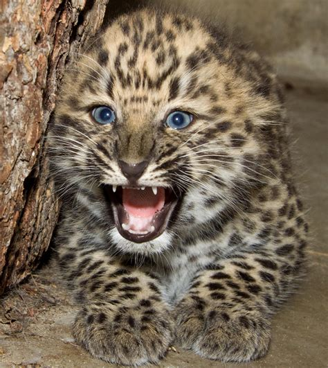 how many babies does a jaguar interpretation of a in which you saw 171 leopard 187
