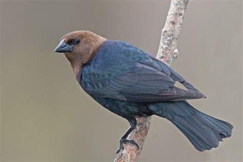 brown headed cowbird molothrus ater nature notes