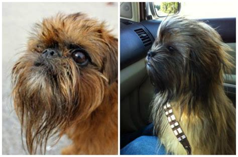 chewbacca puppy if chewbacca were a what type of would he be barkpost