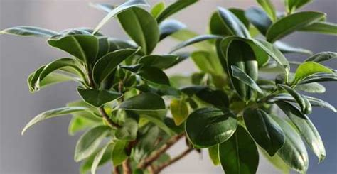 types  ficus trees outdoors  indoors ficus plants