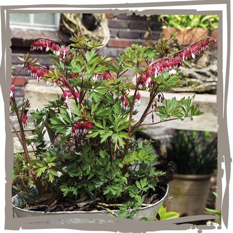 Tränendes Herz Pflanze 4449 by Sommerliche Farben Und Lebendigkeit In Ihrem Garten