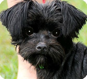 yorkie poo puppies knoxville tn my name is boo our tiny quot yorkie poo yorkiepoo toys poodles and