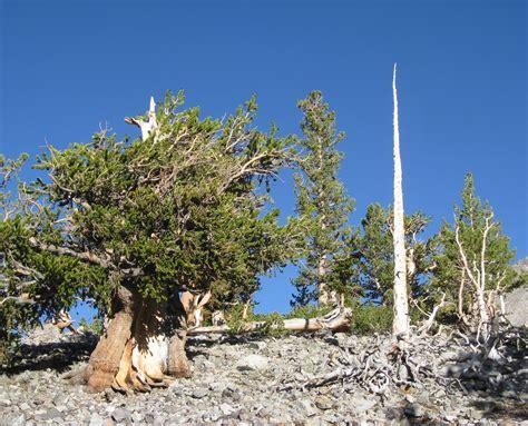 Type Of Trees by File Pinus Longaeva 13 Jpg Wikimedia Commons