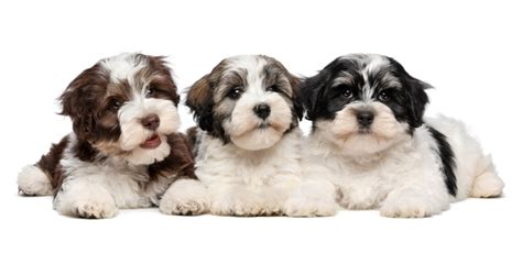 havanese barking problem havanese havanese pet insurance breed info