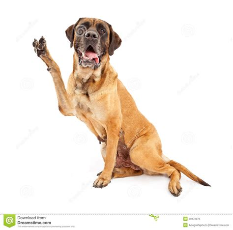 peace puppies mastiff with paw in peace sign royalty free stock photo image 29172875