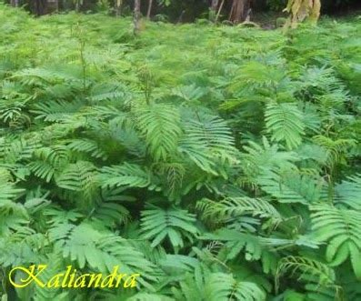 Jual Bibit Bunga Kaliandra mister bibit hortikultura kaliandra pakan ternak yang