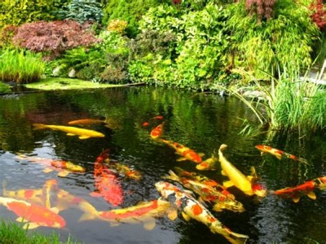 fish ponds here s a gorgeous koi fish pond wit