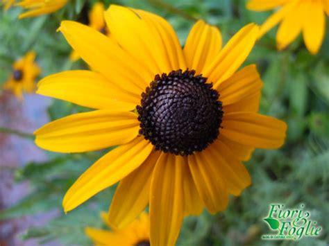 fiori gialli estivi per l estate in terrazzo scegli le margherite gialle