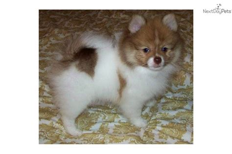 pomeranian puppies for sale in new mexico pomeranian for sale for 600 near roswell carlsbad new mexico 4a6193d9 8761