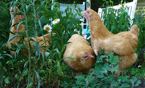 plants that are toxic to chickens ferndale chickens