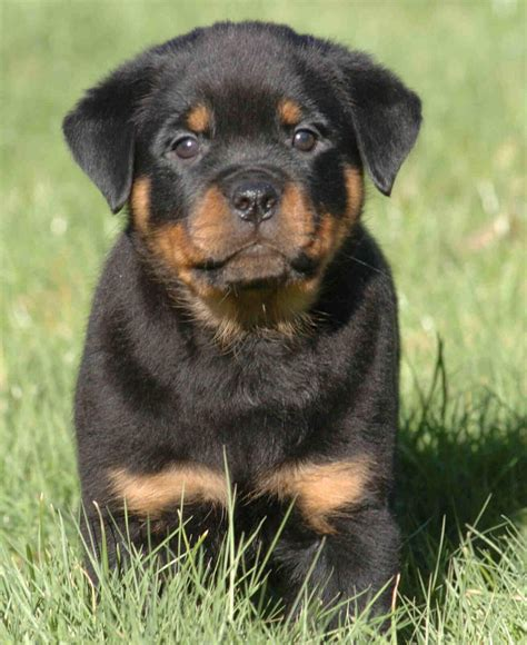 puppy rottweilers rottweiler puppies for sale in las vegas myideasbedroom