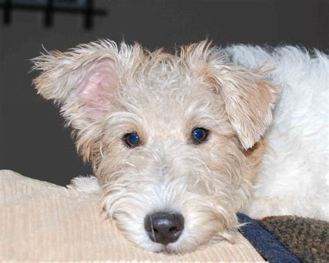 puppy terrier wire fox terrier all small dogs wallpaper 14933870 fanpop