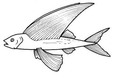 pesci volanti mediterraneo pesce volante da colorare disegni da colorare categoria