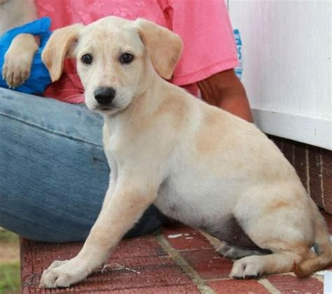 golden retriever puppies ta fl 183 best images about adoptable golden retrievers on