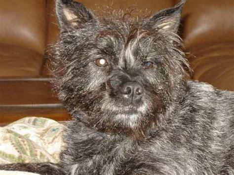 pug rescue scotland pugottie pugotties pug x scottish terrier