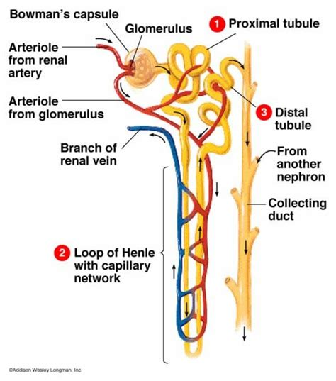 diagram of nephron nephron diagram anatomy biology colors